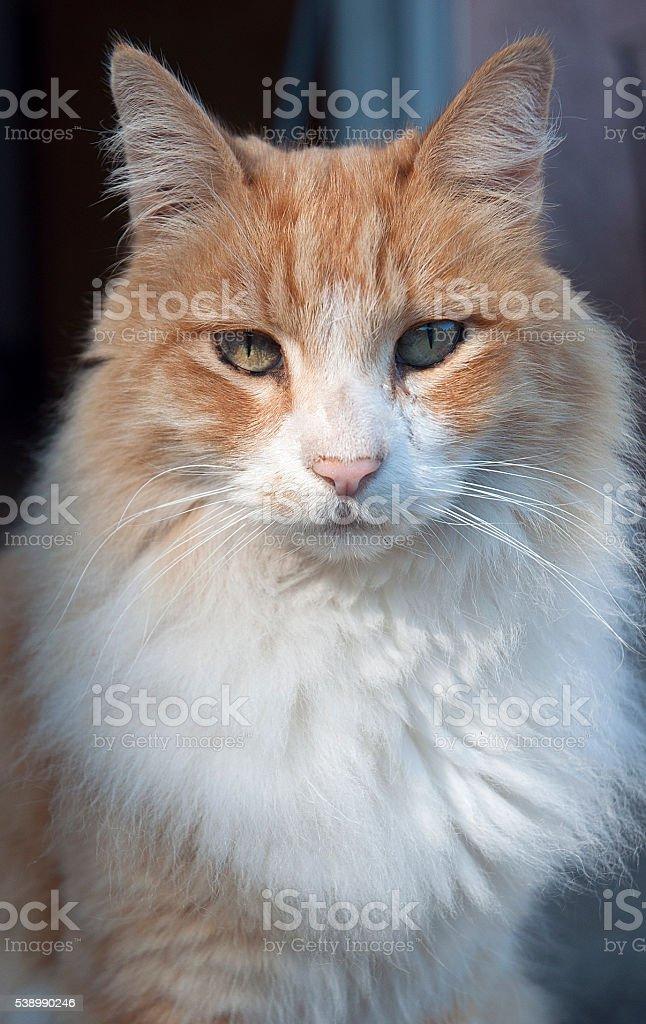 Orange White Long Hair Cat Portrait stock photo