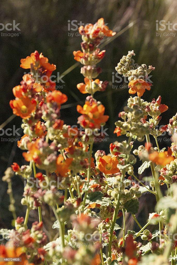 Orange Wildflowers in Kodachrome Basin State Park Utah royalty-free stock photo