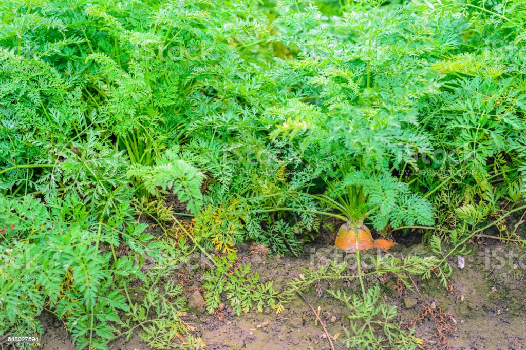 Orange winter carrots in the field from close stock photo