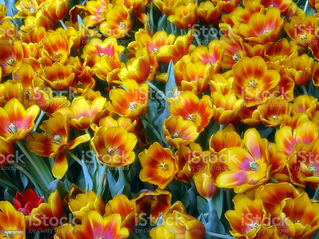 Orange, yellow and red color tulips royalty-free stock photo