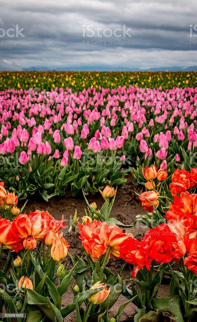 Orange Yellow Pink Blooming Tulips Portland Oregon Spring Flowers stock photo