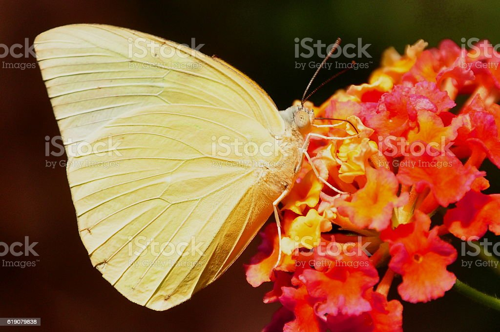 Orange-barred sulfur butterfly stock photo