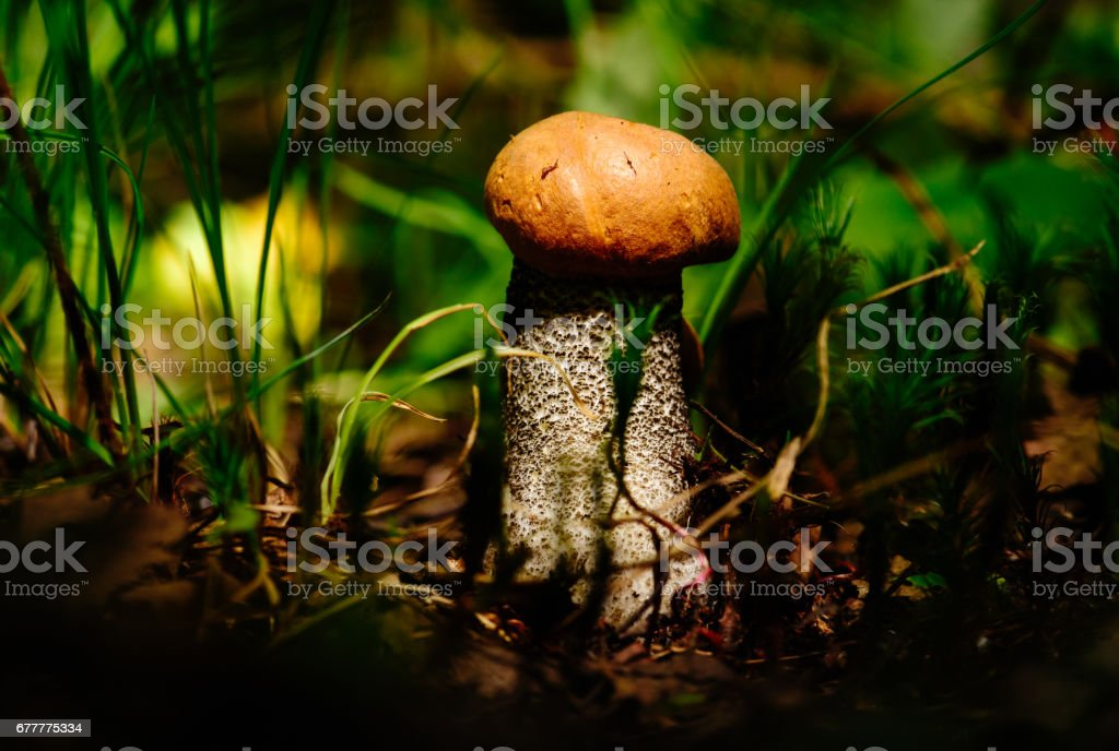 Orange-cap boletus at forest in spot of bright sun light stock photo