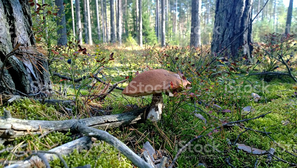 Orange-cap boletus in the forest stock photo