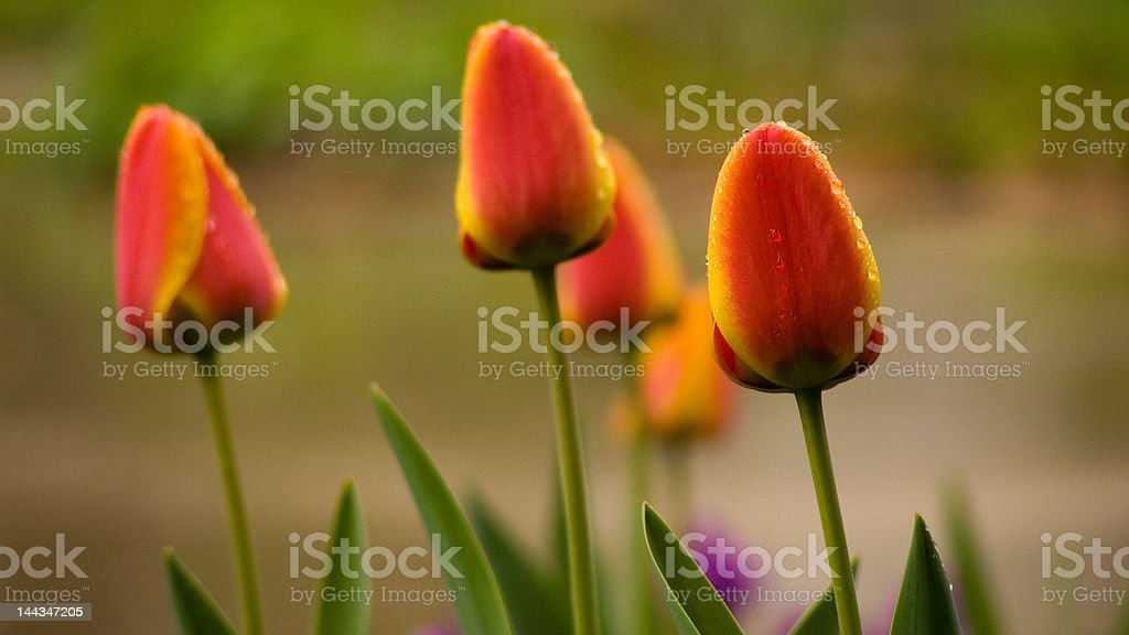 OrangeClusterII royalty-free stock photo
