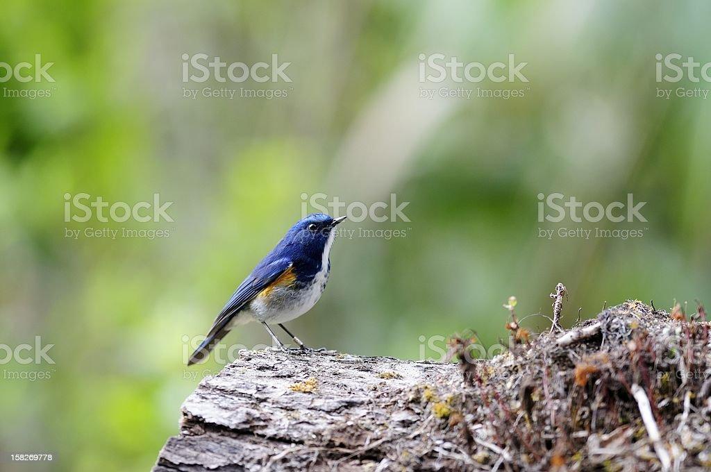 Orange-flanked Bush-Robin stock photo