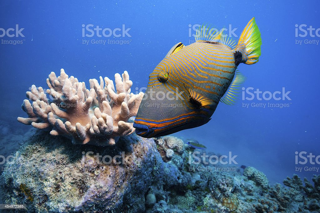 Orange-lined triggerfish by coral in beautiful blue water stock photo
