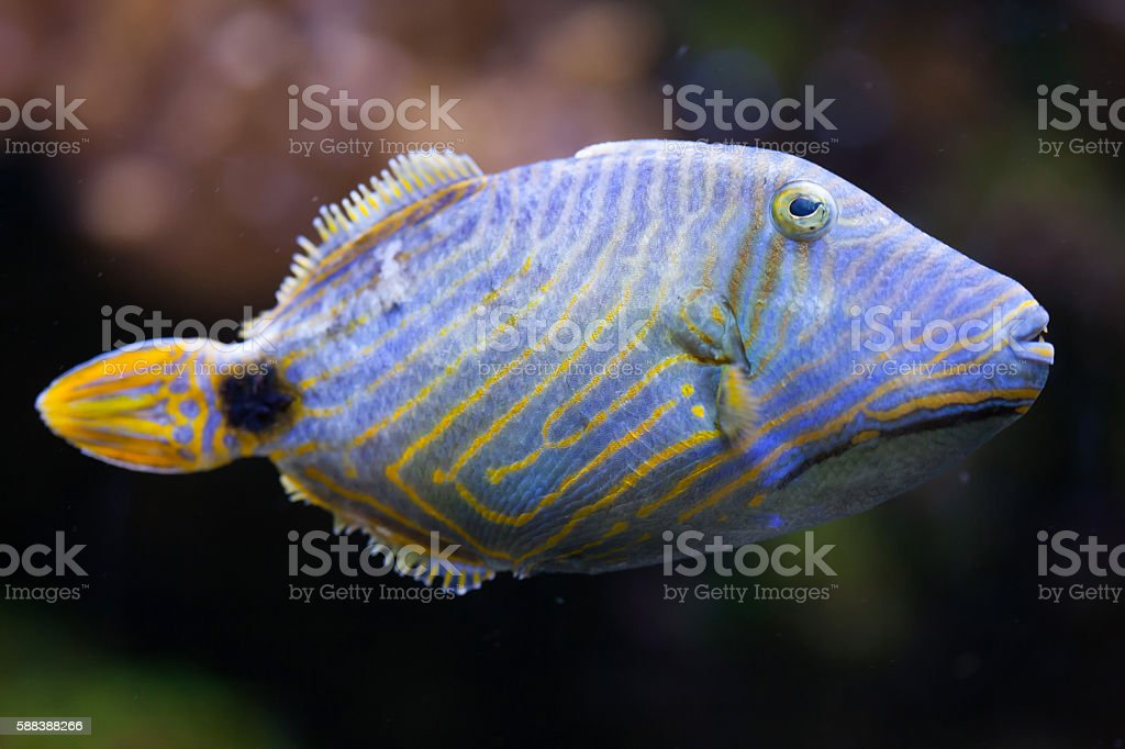 Orange-lined triggerfish (Balistapus undulatus). stock photo