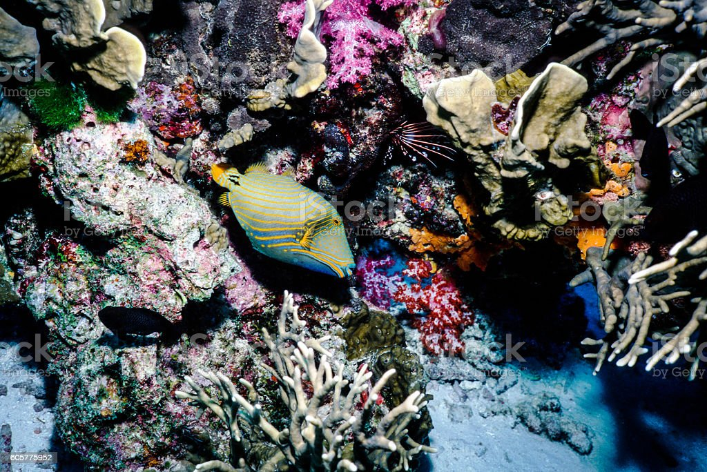 Orange-Lined Triggerfish - Thailand (Right Sideview) royalty-free stock photo