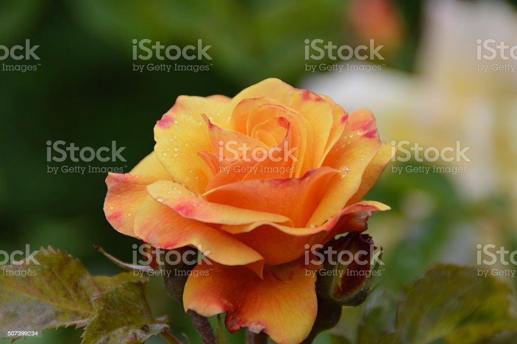 Orangene Rose mit Wassertropfen stock photo