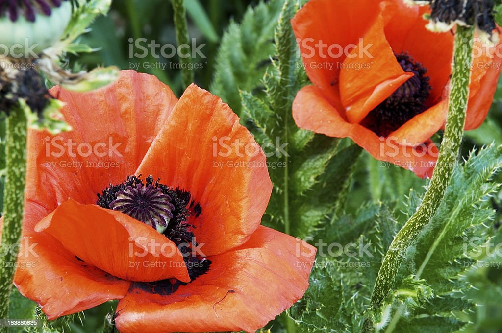 Orange/red oriental poppies in garden. royalty-free stock photo