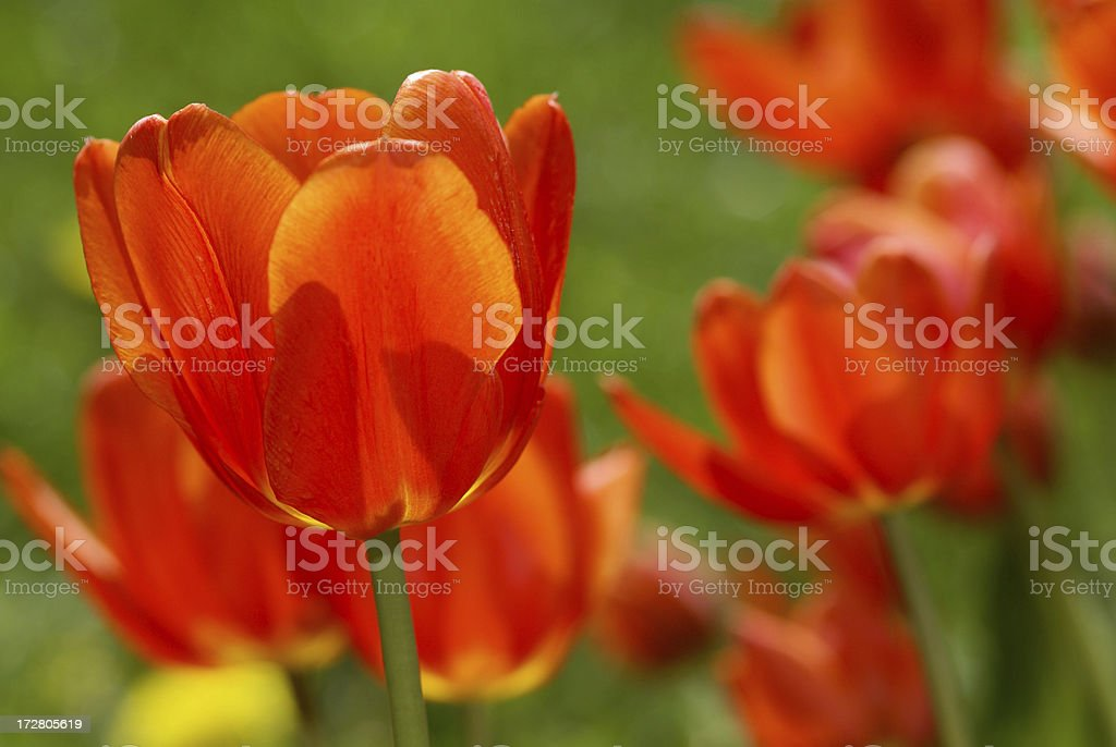 Orange-red tulips in the counther-light royalty-free stock photo