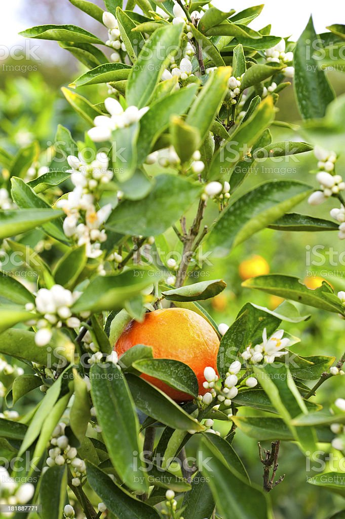 Oranges and blossom on tree royalty-free stock photo