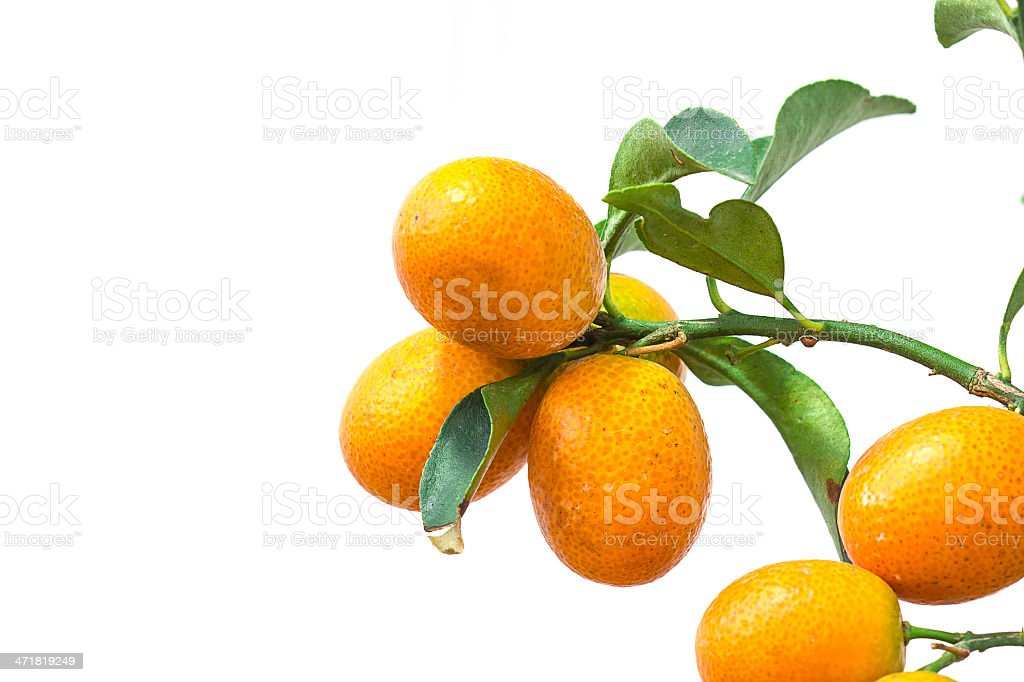 Oranges branch with leaves Isolated on white background royalty-free stock photo