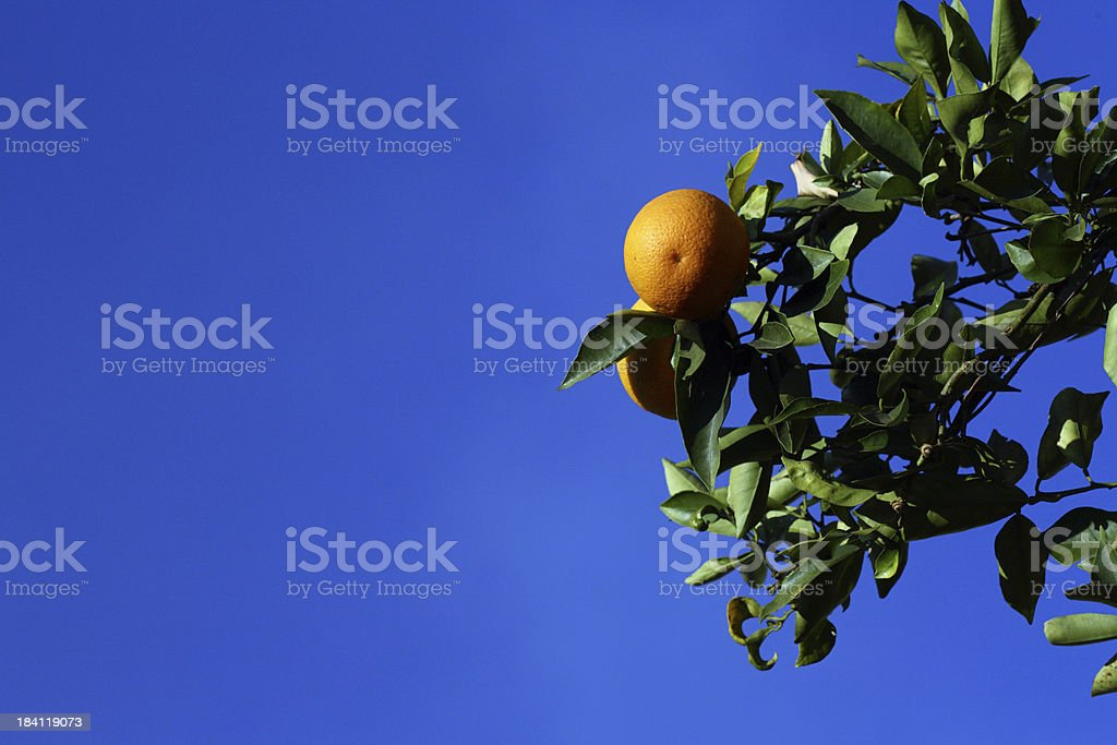 Oranges in a tree royalty-free stock photo