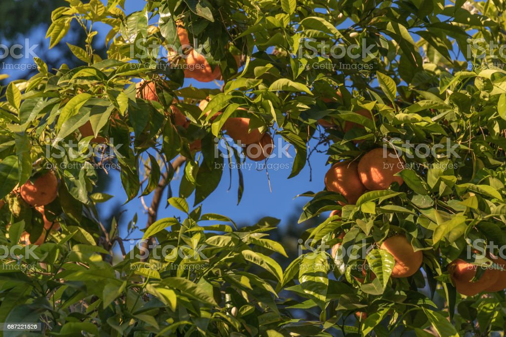 Oranges on a tree green frame stock photo