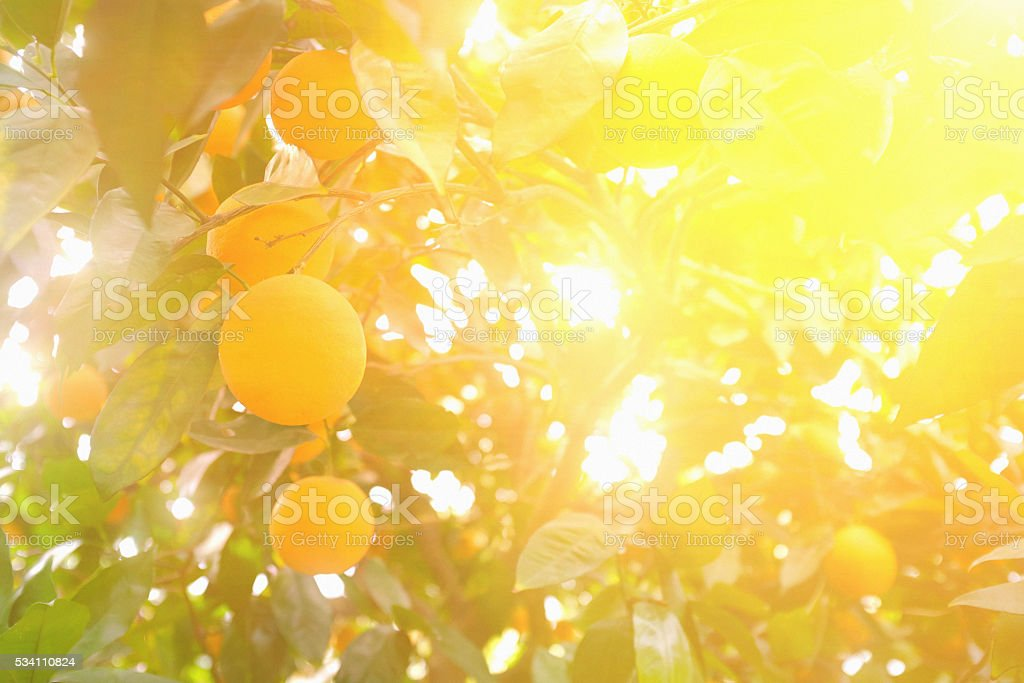 Oranges on citrus fruit farm tree in hazy, filtered sunlight stock photo