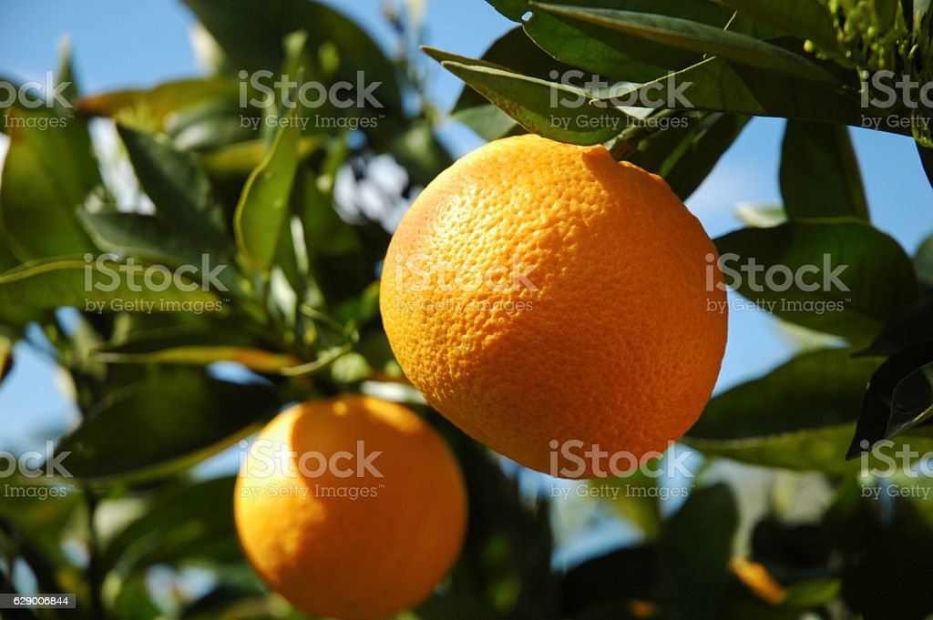 Oranges on the tree royalty-free stock photo