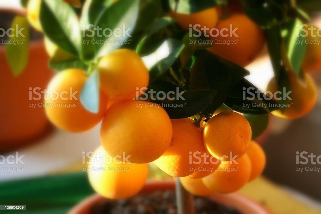 Oranges on tree in full sun stock photo