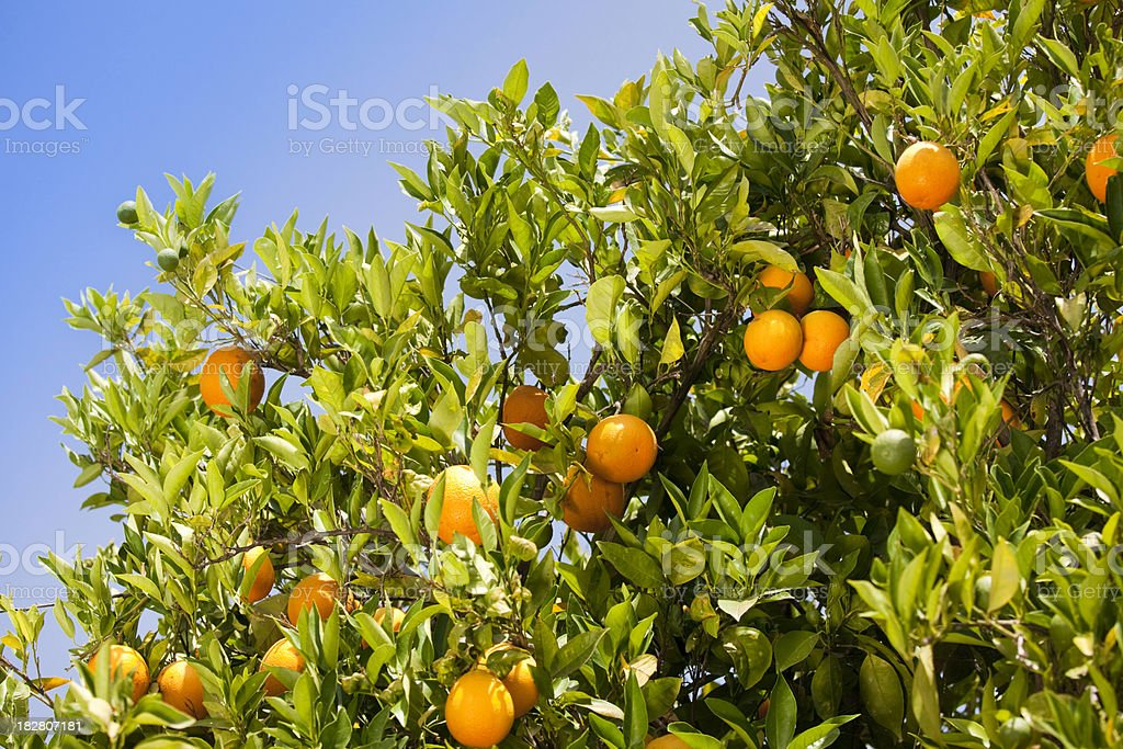 Oranges on tree royalty-free stock photo
