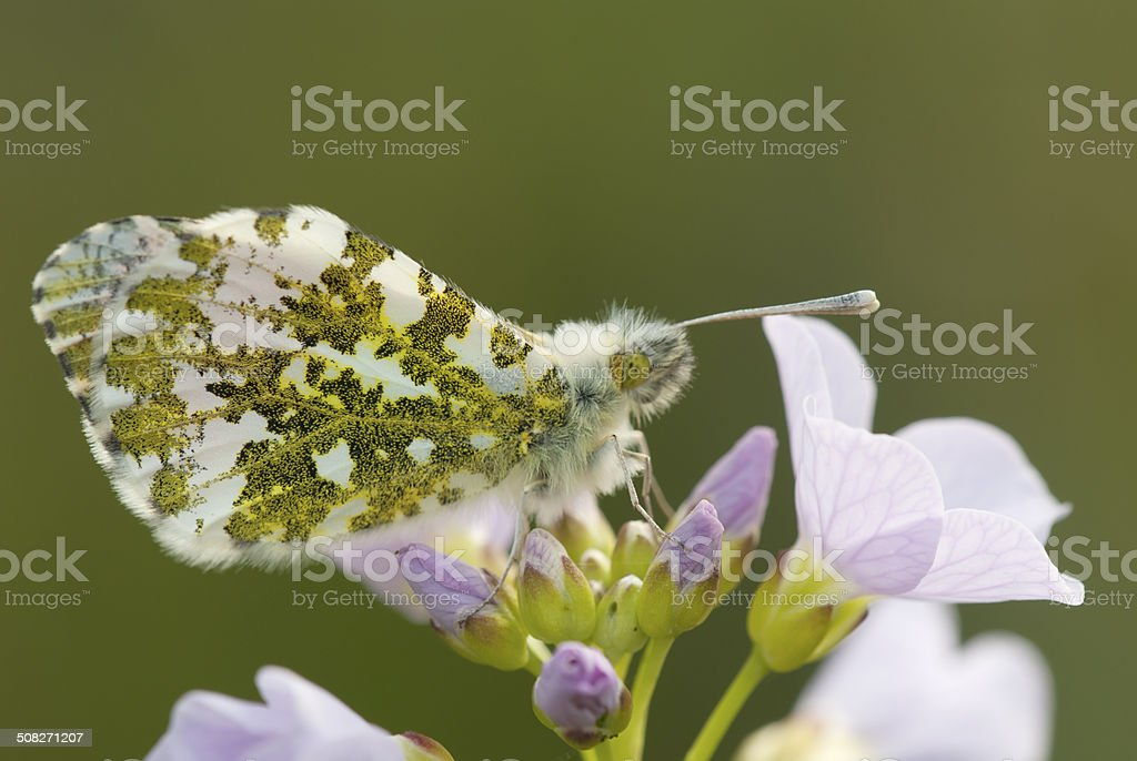 Orange-tip (Anthocharis cardamines) (Male) royalty-free stock photo