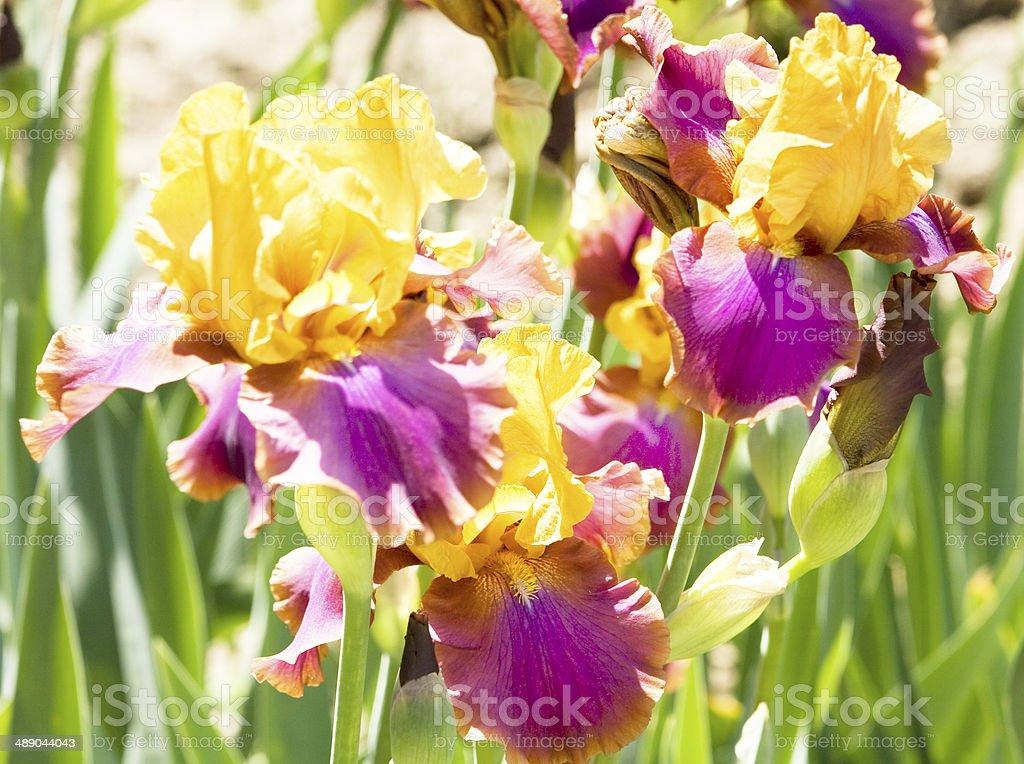 Orange-violet irises stock photo