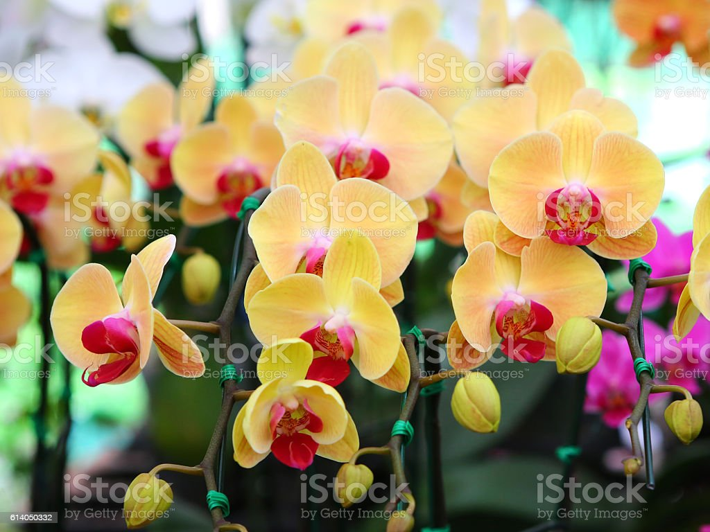 Orange-yellow orchid stock photo