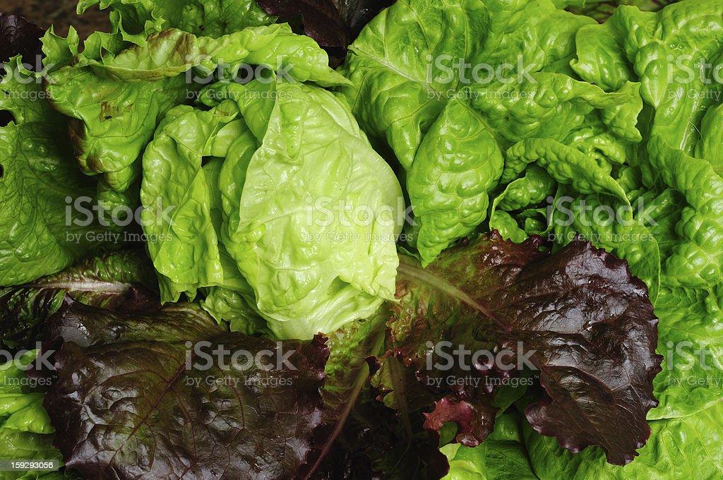 Orangic lettuce. stock photo