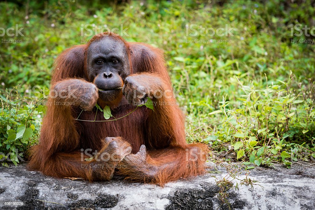 Orangutan Asian species of extant great apes stock photo