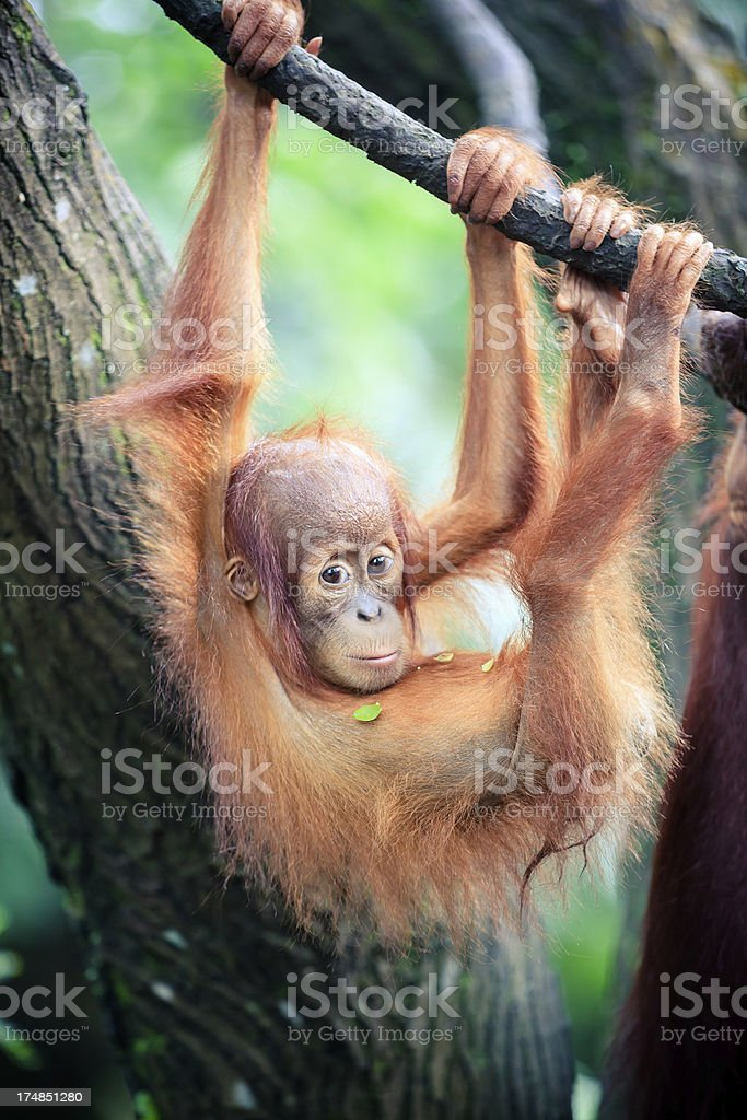 Orangutan baby royalty-free stock photo