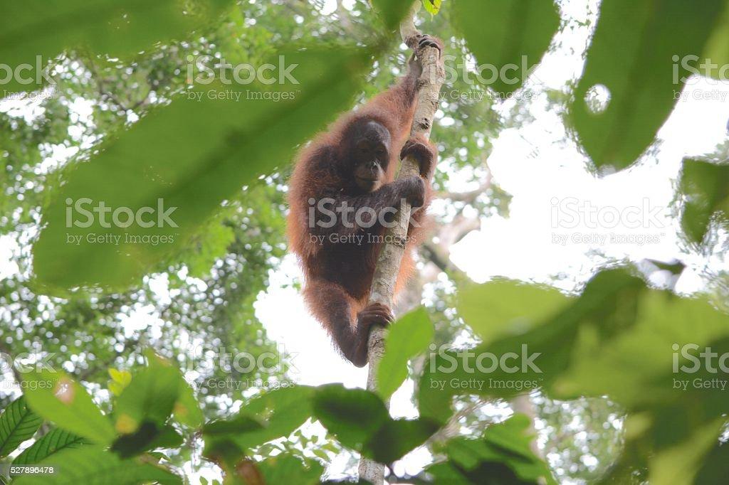 Orang-utan climbing through the trees stock photo