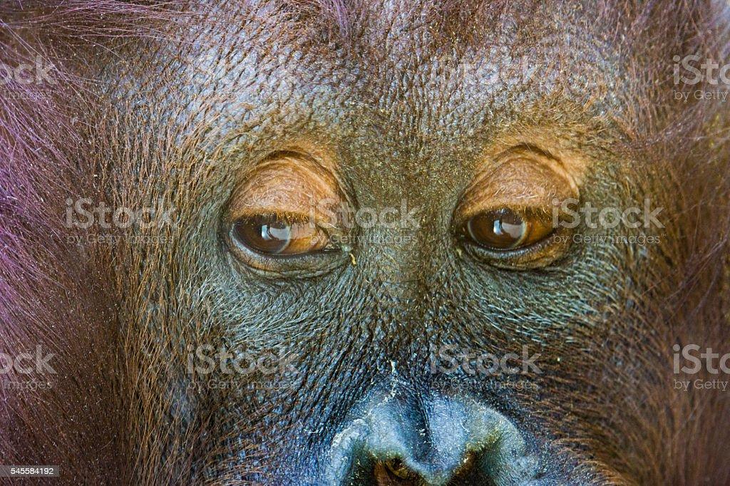 Orangutan close-up stock photo