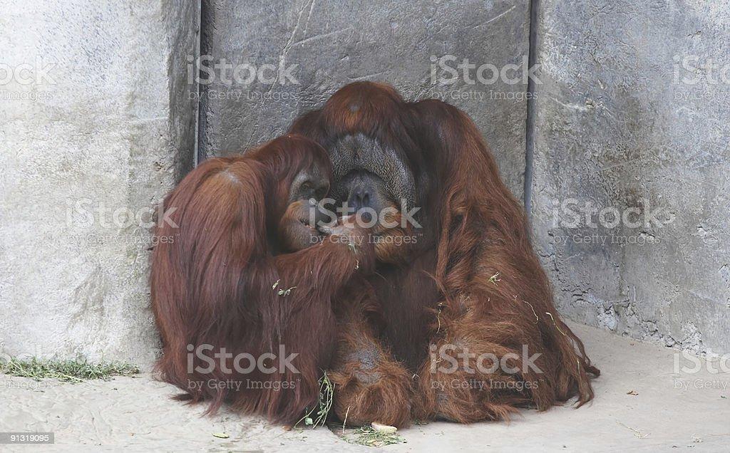 Orangutan couple royalty-free stock photo