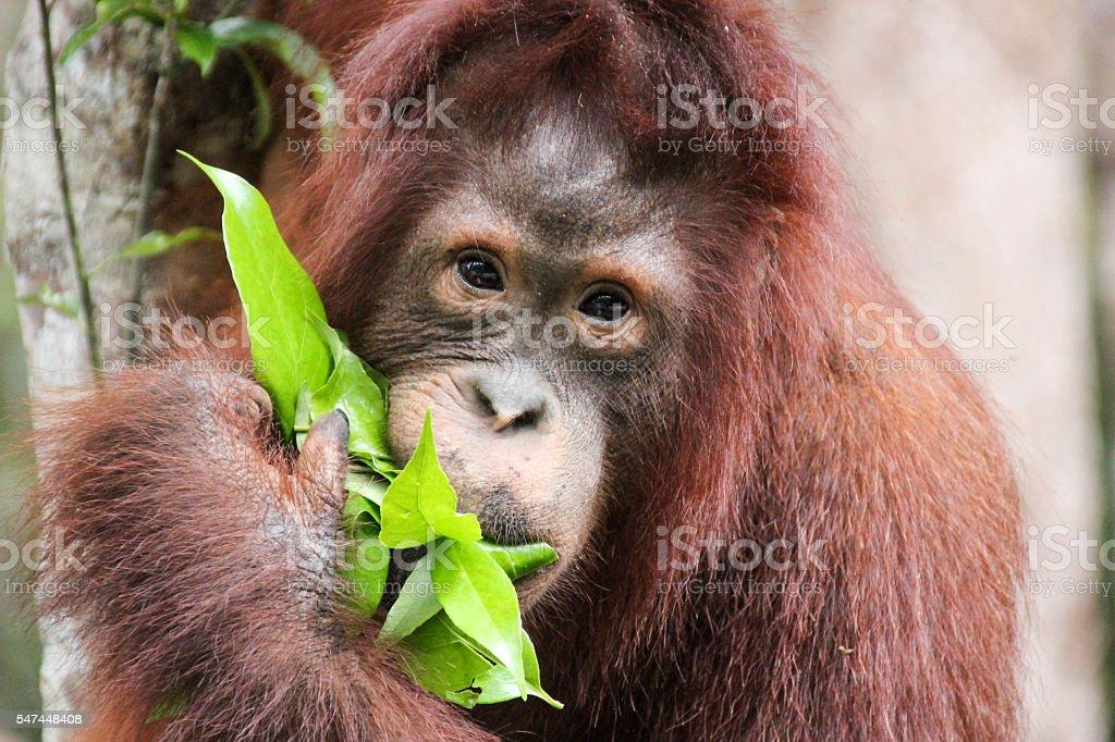 Orangutan Eating stock photo