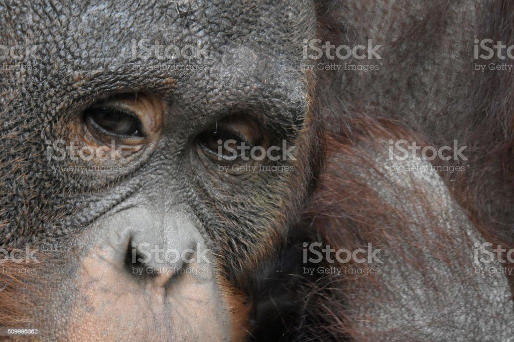 Orangutan Eyes stock photo