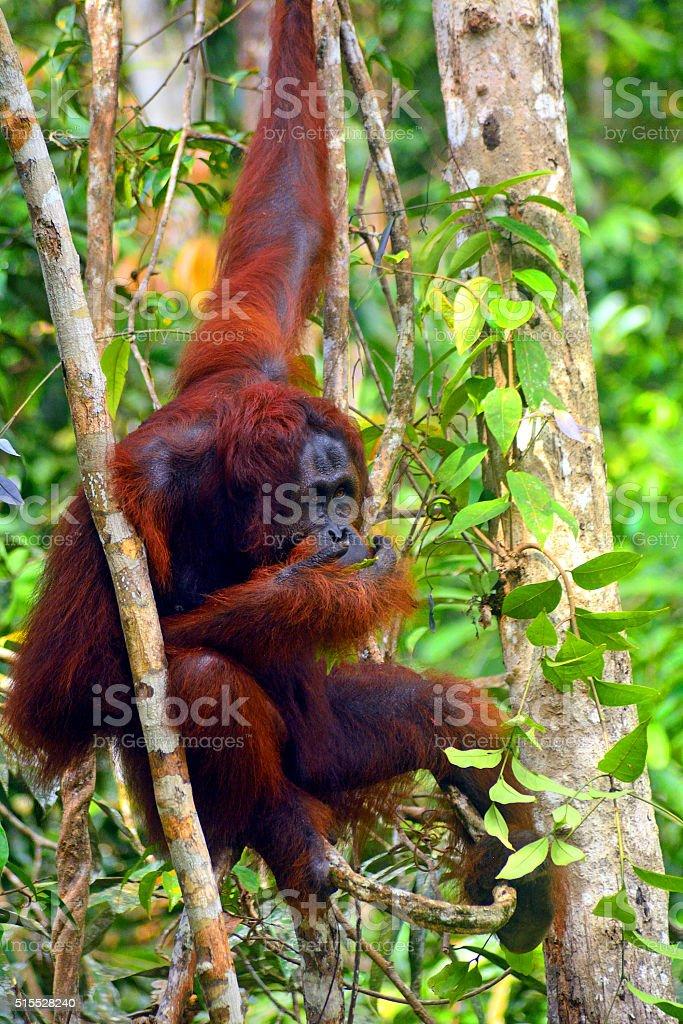 Orangutan in Borneo stock photo