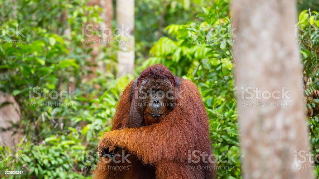 Orangutan Creature Feature - Information on the Wild Man of Borneo