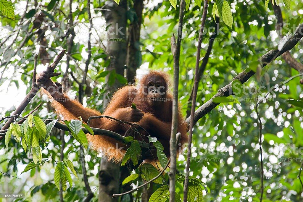 Orangutan in tree in Borneo, Malaysia stock photo