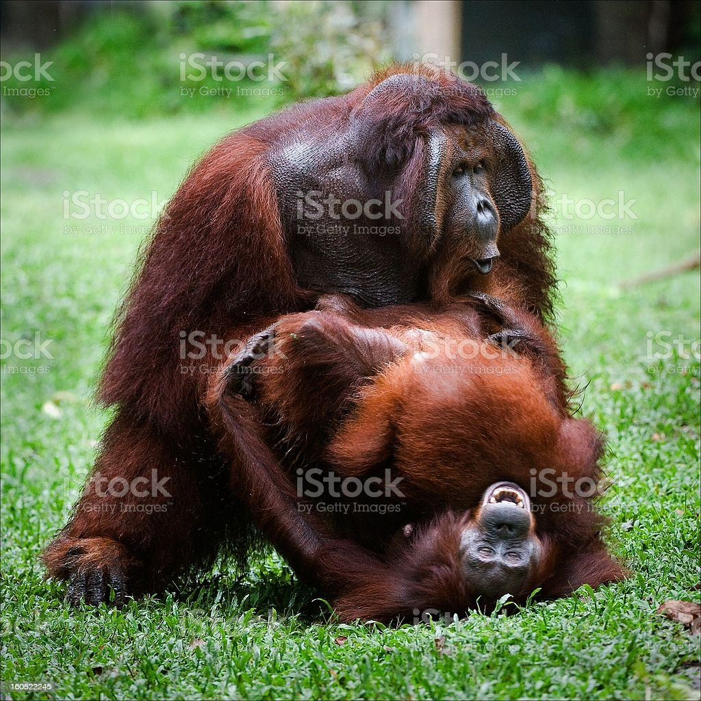 Orangutan love. Mating. royalty-free stock photo