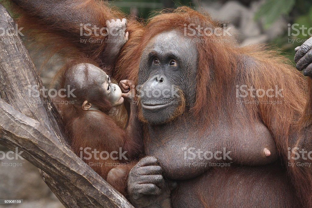 orangutan mother and baby stock photo