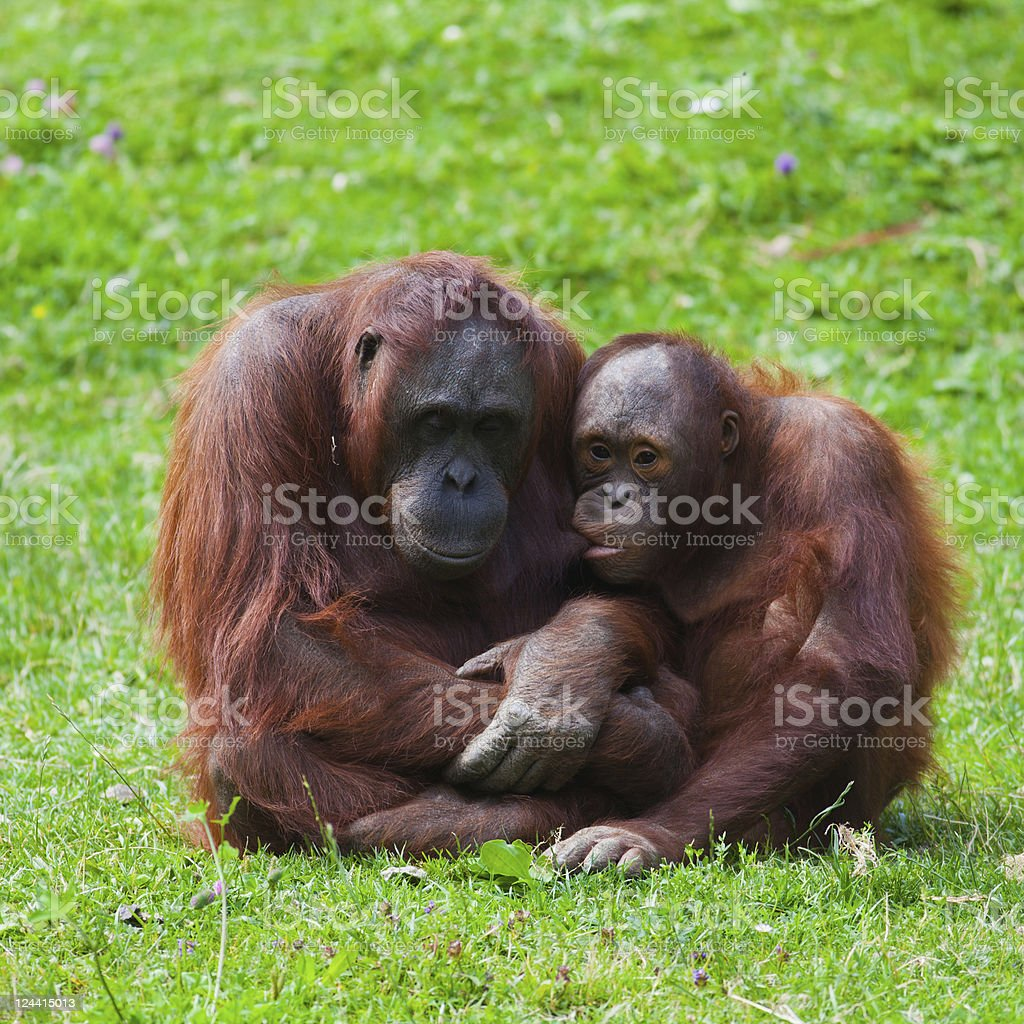 Orangutan mother and child royalty-free stock photo
