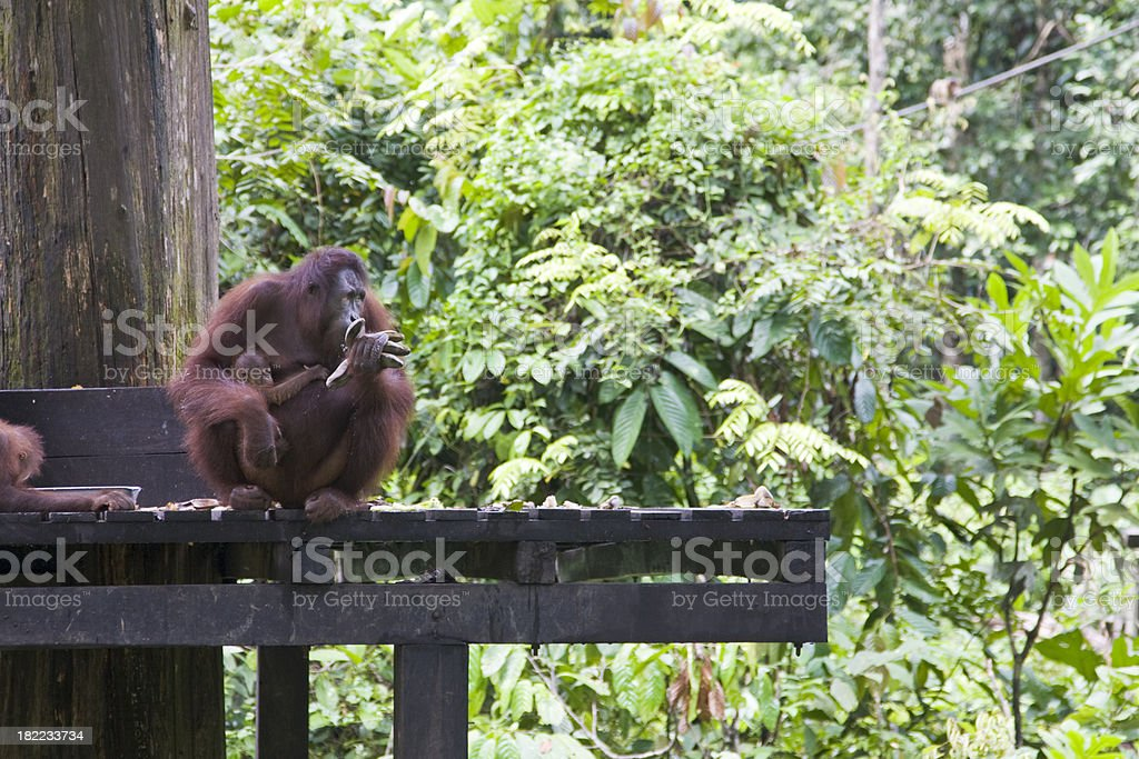 Orangutan mother, baby and young male, Sepilok, Borneo stock photo