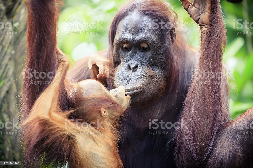Orangutan mother with baby stock photo
