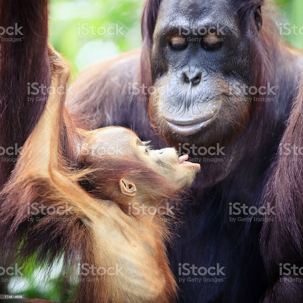 Orangutan mother with baby royalty-free stock photo