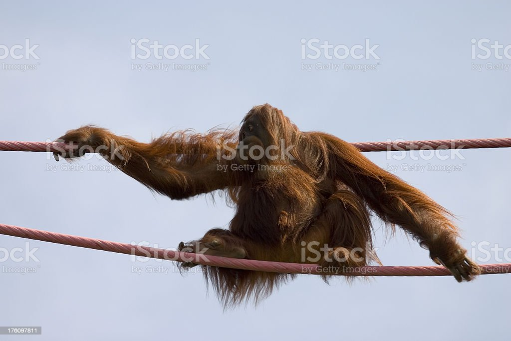 Orangutan On The Ropes stock photo