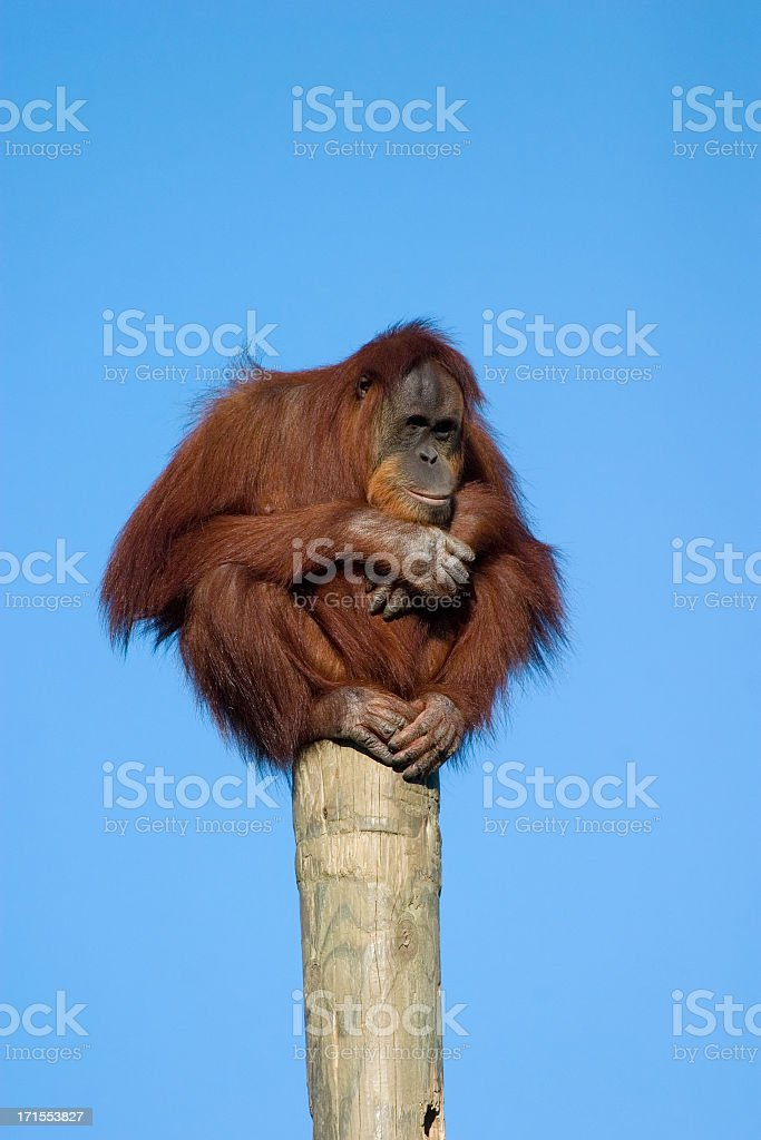 Orangutan perched on a pole royalty-free stock photo