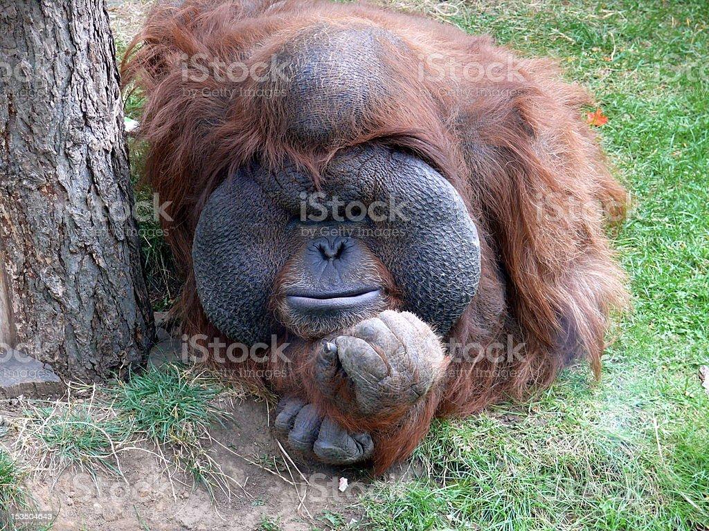 Orangutan  (Pongo) royalty-free stock photo