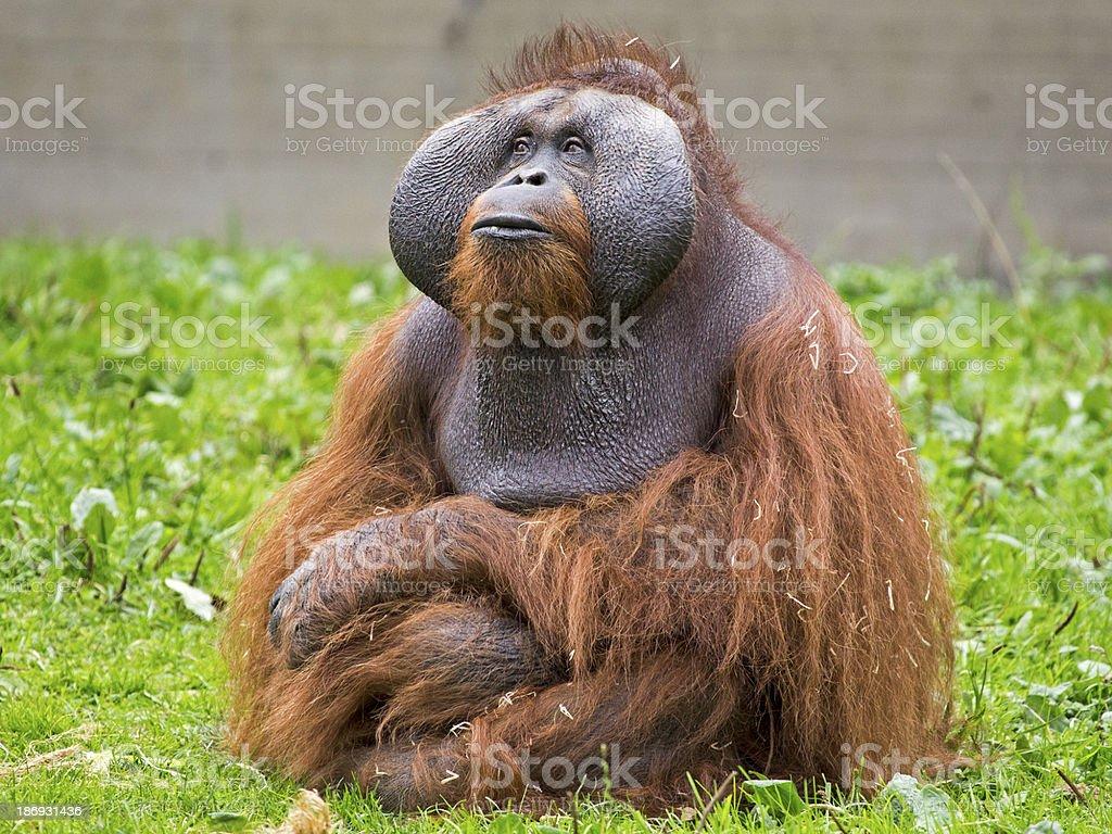 Orangutan stock photo