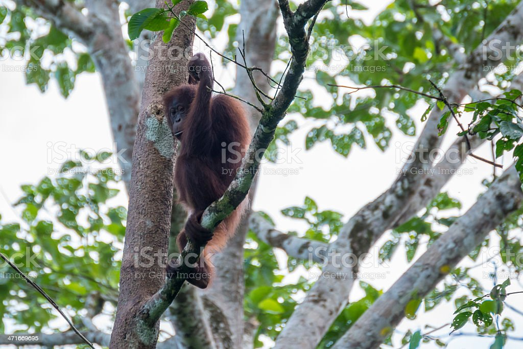 Orangutan royalty-free stock photo