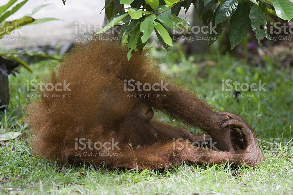 Orangutan playing stock photo